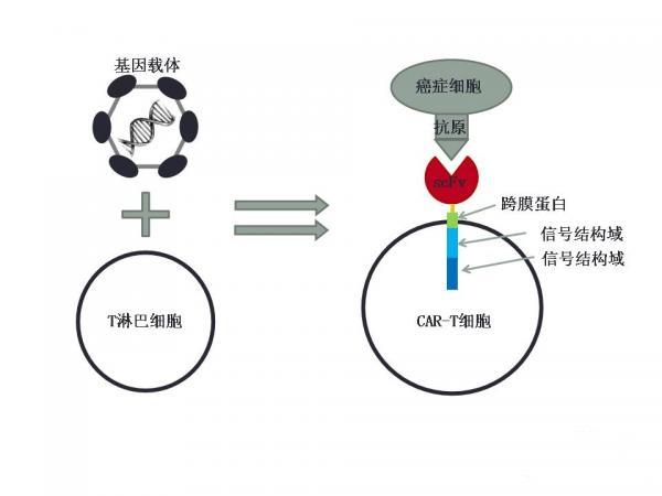 更安全有效的肿瘤特异性抗原T细胞治疗(naCTL)来了