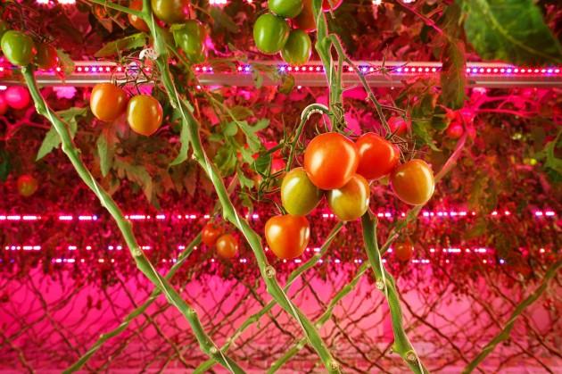 【新闻图片】昕诺飞携手俄罗斯创新型农业企业RIAT,在植物工厂内打造全新人工照明方式种植番茄和黄瓜 (1)
