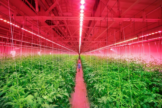【新闻图片】昕诺飞携手俄罗斯创新型农业企业RIAT,在植物工厂内打造全新人工照明方式种植番茄和黄瓜 (3)