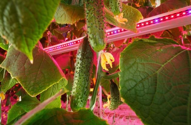 【新闻图片】昕诺飞携手俄罗斯创新型农业企业RIAT,在植物工厂内打造全新人工照明方式种植番茄和黄瓜 (2)