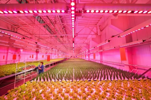【新闻图片】昕诺飞携手俄罗斯创新型农业企业RIAT,在植物工厂内打造全新人工照明方式种植番茄和黄瓜 (4)