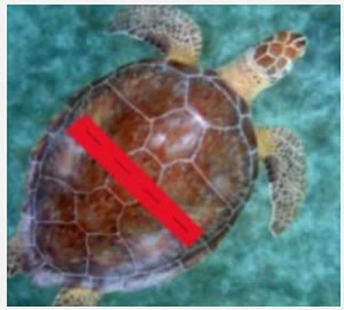 学生用3D打印机帮助海龟重拾游泳之梦