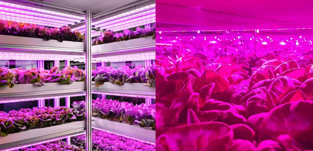 艾迈斯欧司朗新款升级版白光LED照亮新型农业发展插图1
