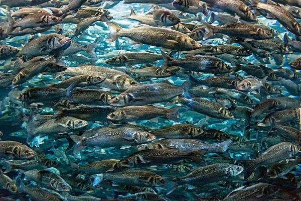 陳根:研究發現魚類減阻重要線索,或將幫助飛行器阻力減少25%