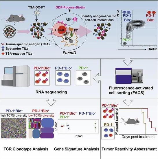 陈根:免疫疗法新工具,可高效识别对抗肿瘤免疫细胞