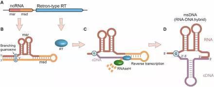 陈根:Retron——抵抗噬菌体杀伤,有望克服细菌耐药性