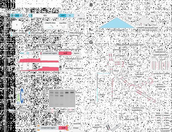 陈根:研究发现——全新基因编辑酶